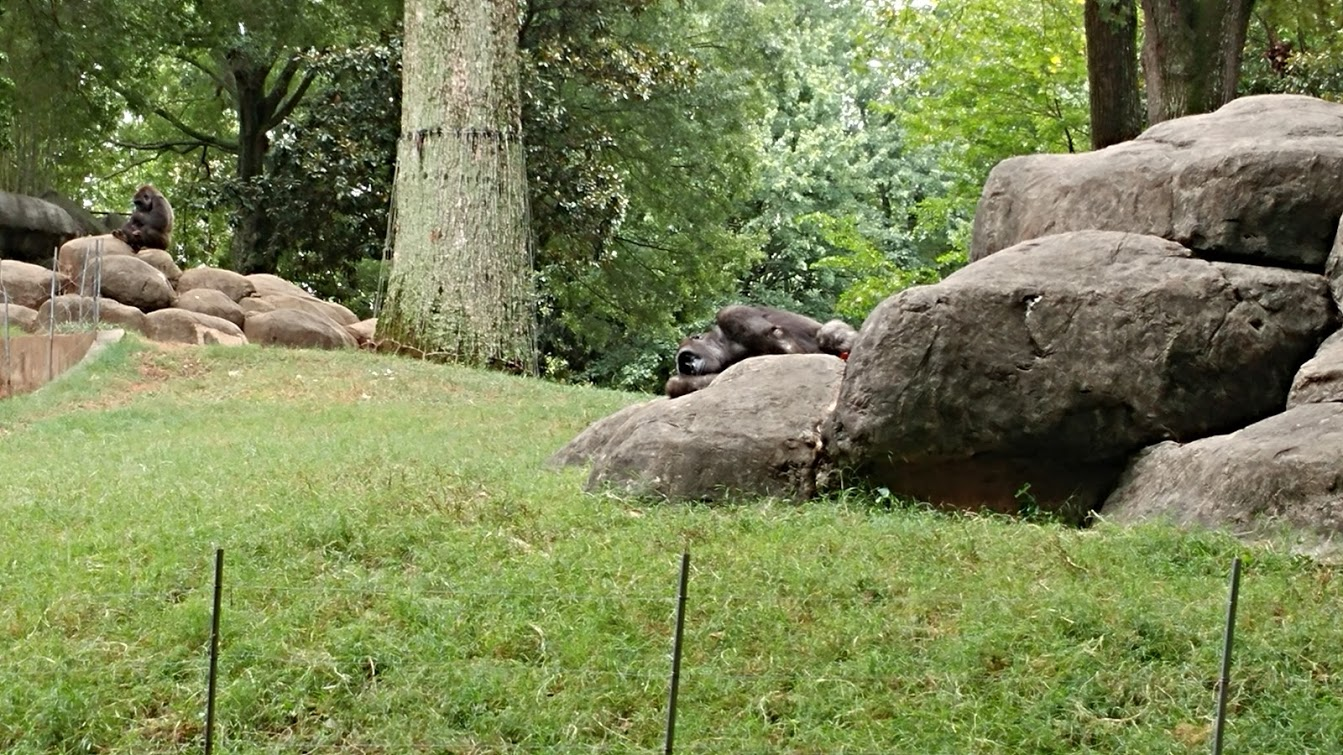 Sleeping Gorillas