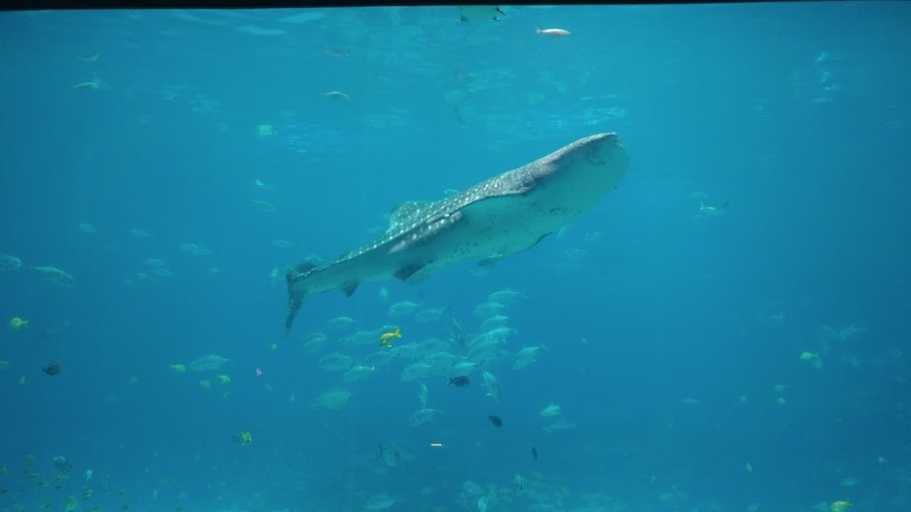 Beautiful Whale Shark